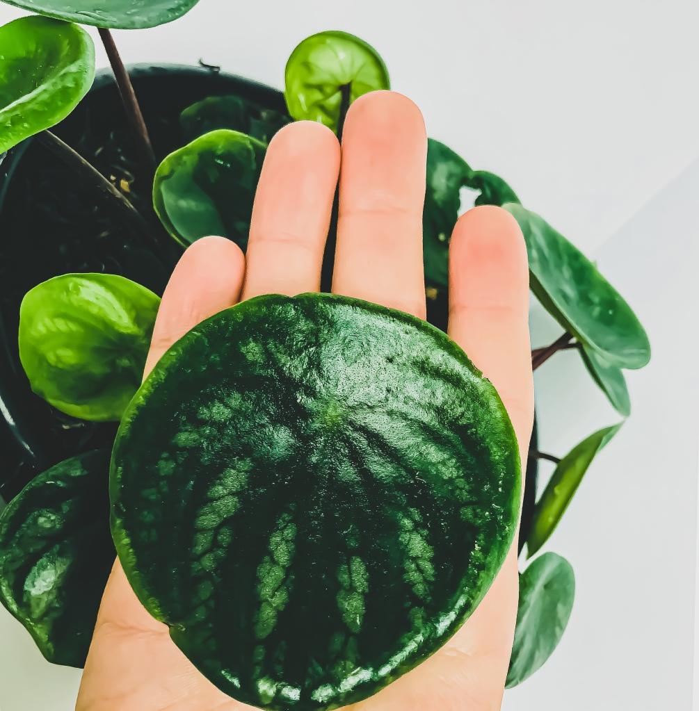 watermetlon peperomia leaf