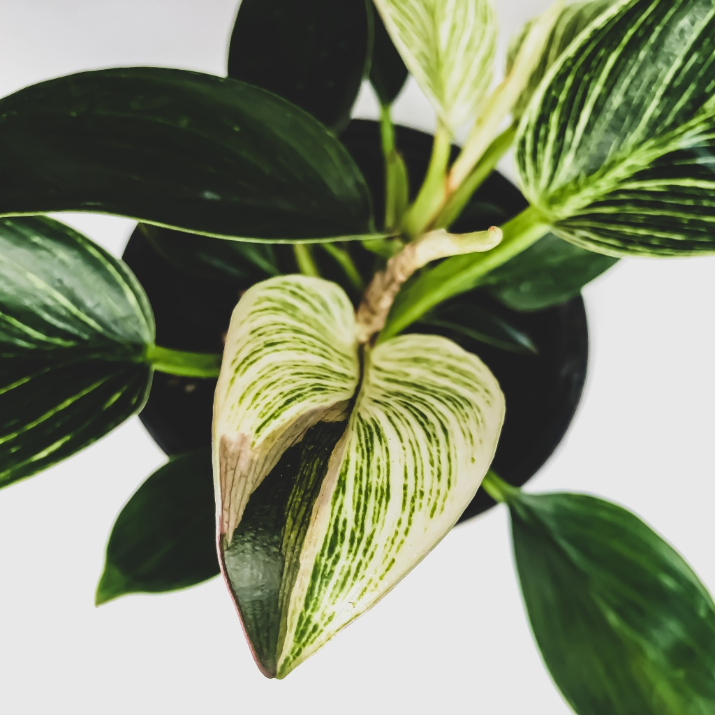 philodendron birkin variegation