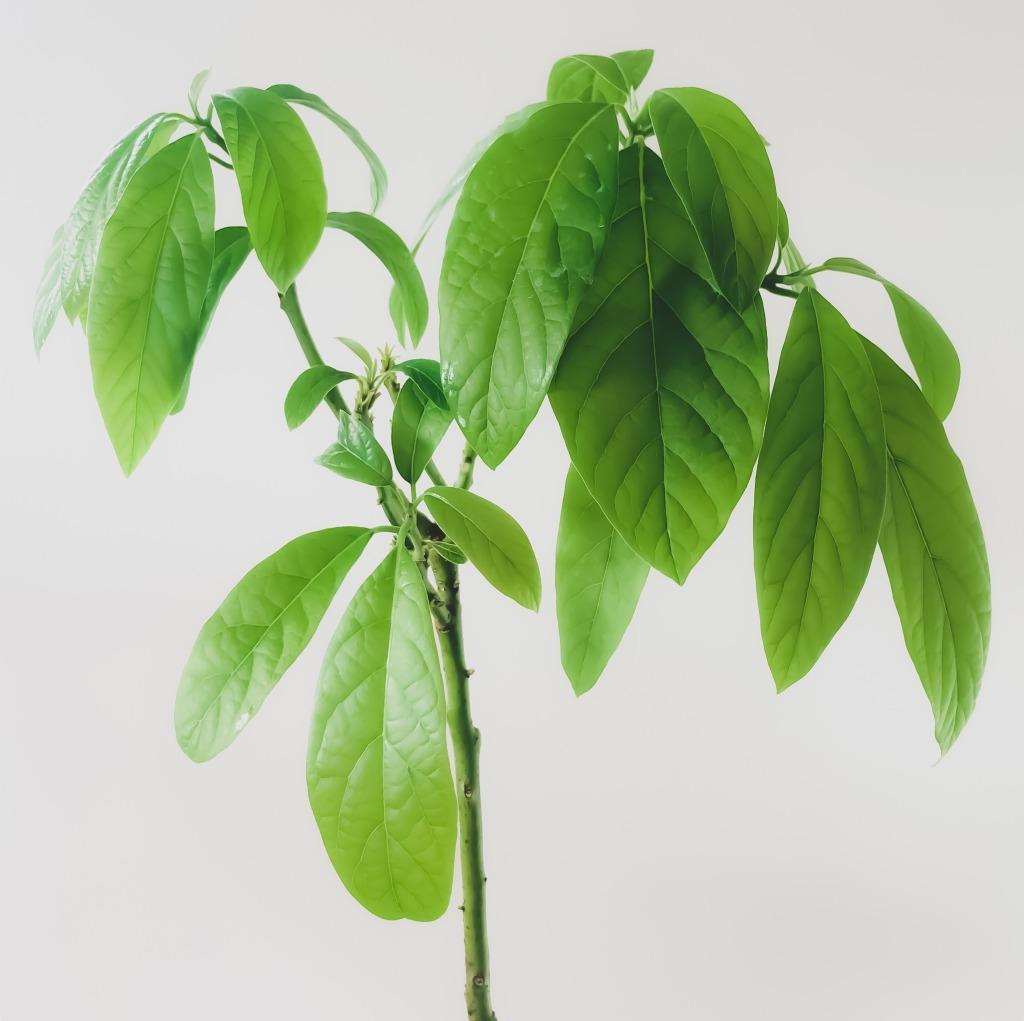 avocado tree indoor propagation plant care bioactive phytonutrients